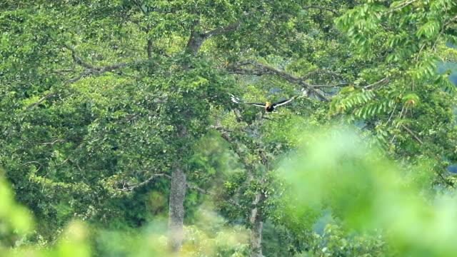 großer nashornvogel fliegen in den wald, slow-motion - bedrohte tierart stock-videos und b-roll-filmmaterial