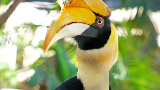 Stor Hornbill video
