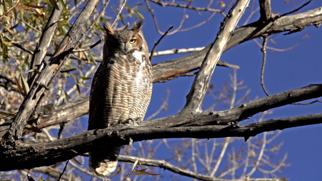 With sharp talons visible, a great horned owl perches, in the sun, turns his head, looks around and blinks his eyes in a willow tree along a creek in Littleton, Colorado.