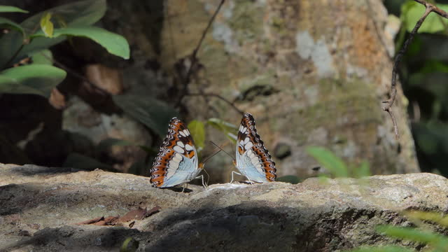Great Nawab butterfly in nature video