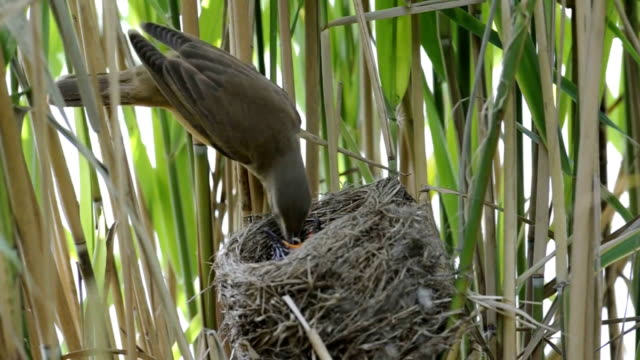 Great reed warbler with Cuckoo video