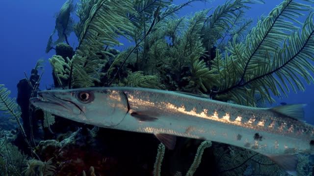 Great Sphyraena Barracuda on Caribbean reef video