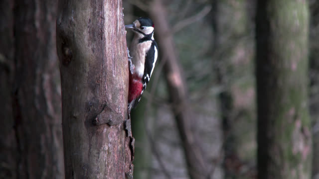 Great Spotted Woodpecker feeding on the side of a tree in Scottish woodland