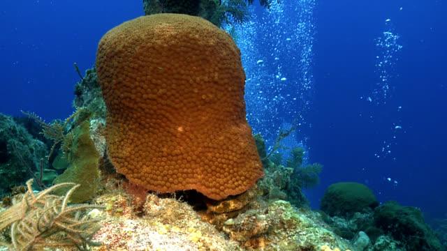 stockvideo's en b-roll-footage met great star coral on caribbean reef montastrea cavernosa - providenciales