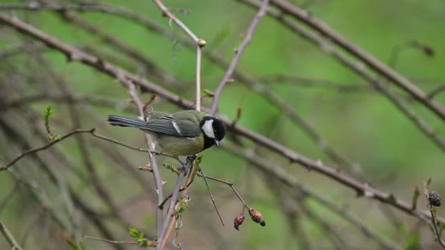 Great tit (Parus major) on the bush of wild rose video