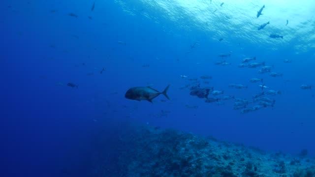 vídeos y material grabado en eventos de stock de gran pescado de jurel submarinos - zona pelágica