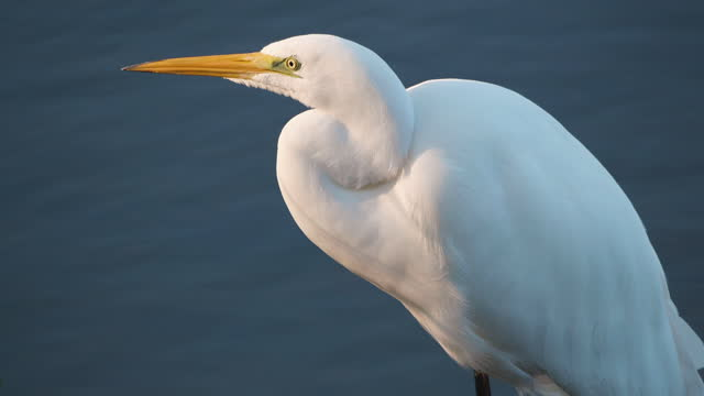 4K - Great white heron. Close-up 4K - Great white heron. Close-up baltic countries stock videos & royalty-free footage