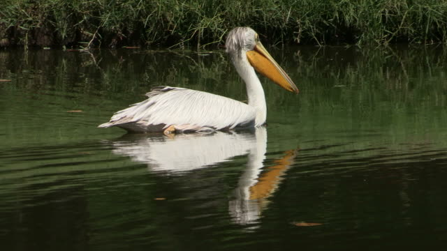 Great white pelican on the lake A slow pan shot of great white pelican on the lake. pelican stock videos & royalty-free footage