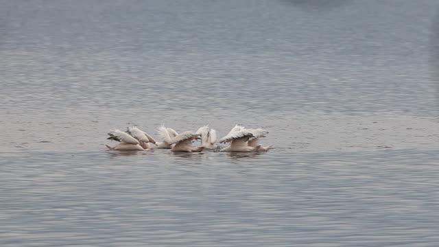 Great White Pelican, pelecanus onocrotalus, Group Fishing, Colony at Nakuru Lake in Kenya, Real Time Great White Pelican, pelecanus onocrotalus, Group Fishing, Colony at Nakuru Lake in Kenya, Real Time pelican stock videos & royalty-free footage