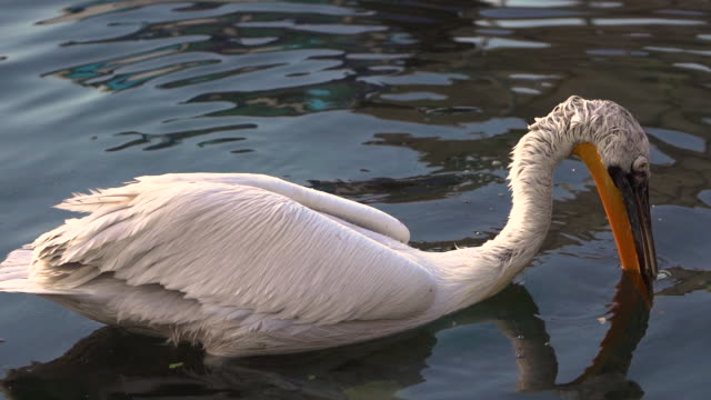Great white pelican Great white or eastern white pelican, rosy pelican or white pelican is a bird in the pelican family.It breeds from southeastern Europe through Asia and in Africa in swamps and shallow lakes. Turkey Izmir pelican stock videos & royalty-free footage