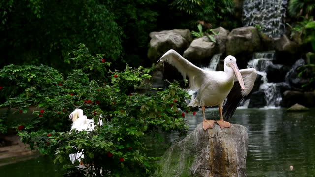 Great White Pelican Couple of Great White Pelicans pelican stock videos & royalty-free footage