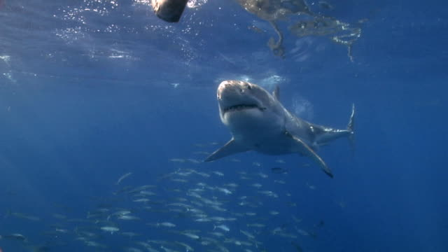 Great White Shark approaches bait video
