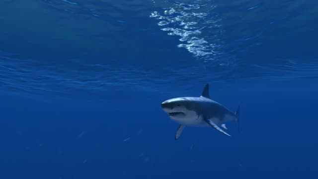 Great White Shark crosses the screen