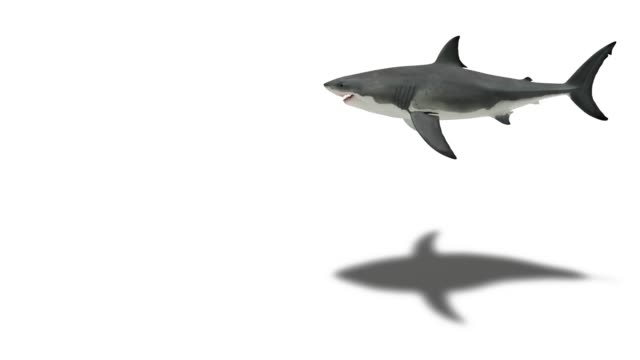 Great white shark on white with shadow video
