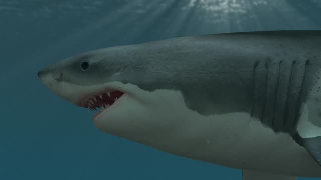 Great white shark swimming close up Great white shark swimming close up mouth open stock videos & royalty-free footage