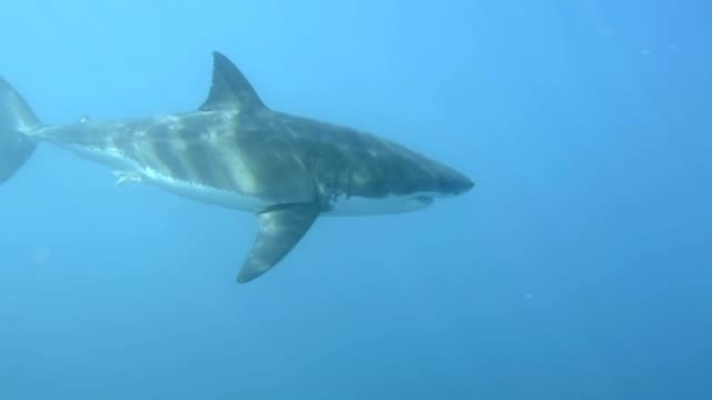 Great White Shark video