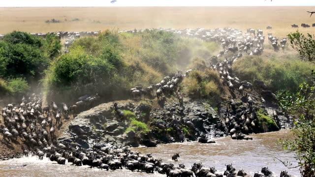素晴らしいヌーの移行とケニアのワニの攻撃 - 日常から抜け出す点の映像素材/bロール