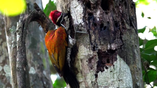 Greater flameback woodpecker drilling bark tree finding food like insect in nature.