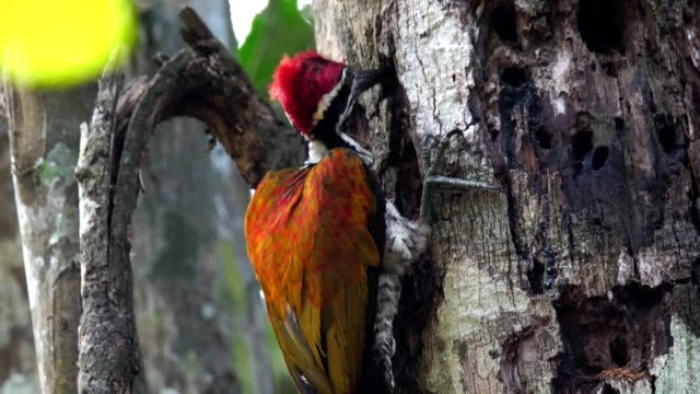 ZO, Greater flameback woodpecker drilling bark tree finding food like insect in nature.