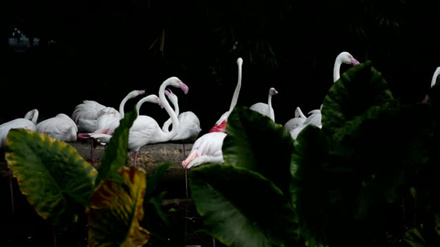Greater flamingo bird are standing video