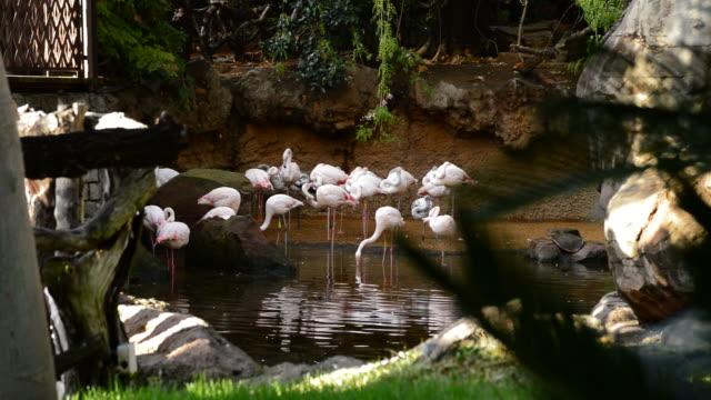 Greater flamingos birds in a natural park - Phoenicopterus roseus video