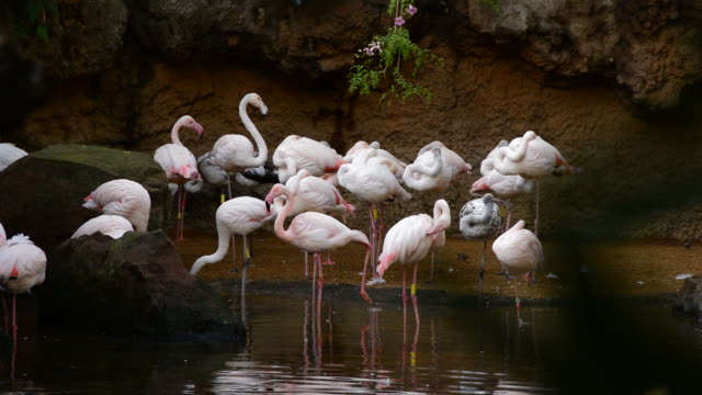 Greater flamingos birds in the shore of a lake - Phoenicopterus roseus video