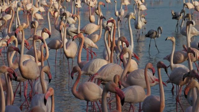 stockvideo's en b-roll-footage met greater flamingos, fenicopterus roseus, pont de gau, camargue, frankrijk - video's van beauty