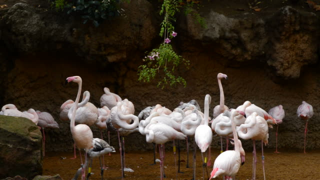 Greater flamingos pink birds in the shore of a lake - Phoenicopterus roseus video