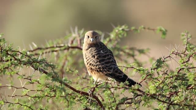 Greater kestrel (Falco rupicoloides), Kalahari, South Africa