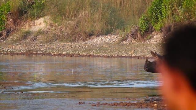 greater one-horned rhinoceros in bardia national park, nepal - park narodowy kanha filmów i materiałów b-roll