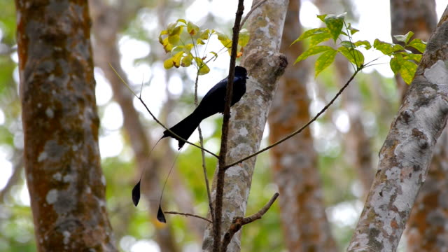 Greater racket-tailed drongo video