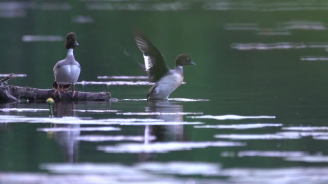 greater scaup (aythya marila) takes flight - утка водоплавающая птица стоковые видео и кадры b-roll