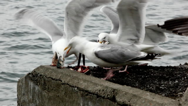 Greedy seagulls eating fish gut by the sea A mob of greedy Seagulls fights over entrail of fish, in a feeding frenzy by the sea. scavenging stock videos & royalty-free footage
