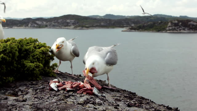 Greedy seagulls eating fish gut A mob of greedy Seagulls fights over entrail of fish, in a feeding frenzy. scavenging stock videos & royalty-free footage