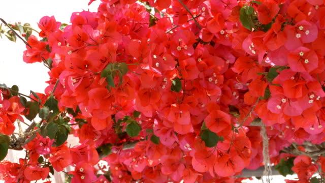 Greek Red Flowers video