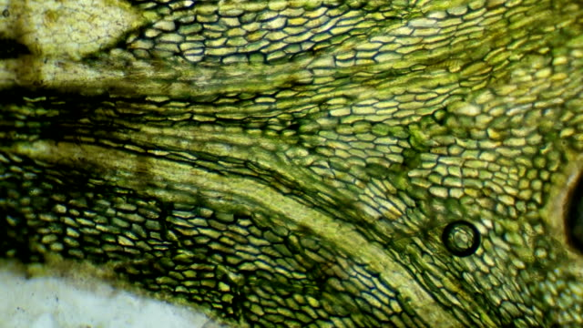 green algae under the microscope green algae under the microscope FullHD plant cell stock videos & royalty-free footage