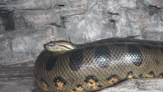 Best Anaconda Snake Stock Videos and Royalty-Free Footage