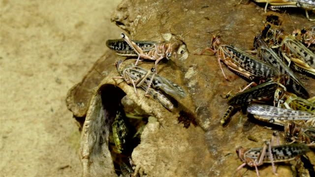 Green and brown grasshoppers are staying on a rooten skull video