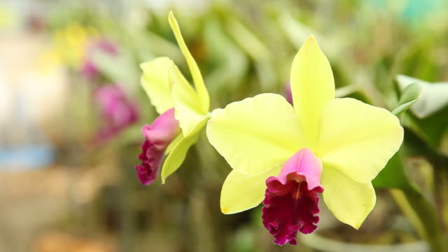 Green and red cattleya in natural light video