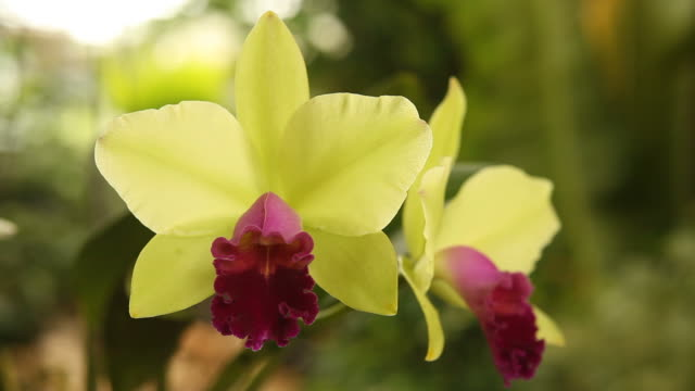Green and red cattleya in natural light