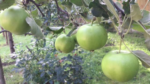 Green apples on the branches of the tree video