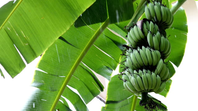 green banana fruit on tree of plantation agriculture, rainy day scene video