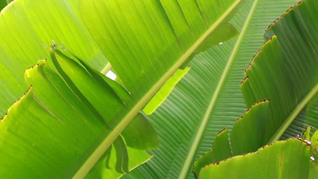green Banana leaf video