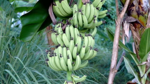 Green Bananas Hanging on Banana Tree video
