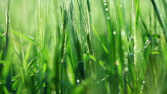 Green barley close-up