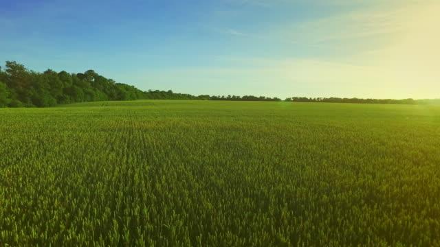 Green barley field in summer day. Wheat field green. Field aerial video