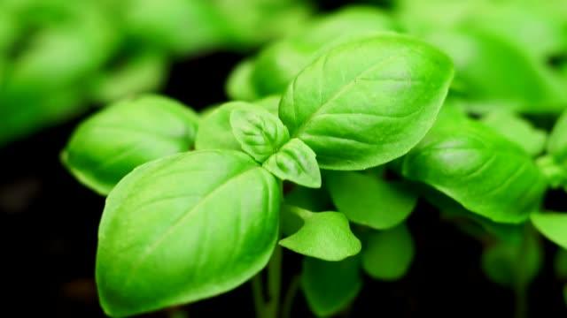 vídeos de stock e filmes b-roll de green basil plant closeup farming - manjericão