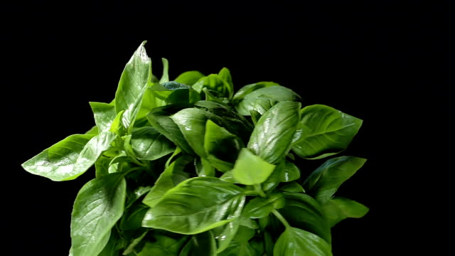 vídeos de stock e filmes b-roll de green basil with drops on leaves turns on black background - manjericão