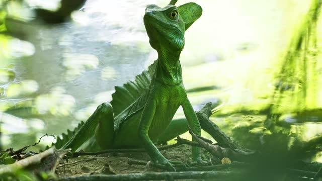 zielony bazylisz - plumifrons basiliscus zwany również zielony bazyliisk, podwójne grzebieniaste bazyliszka, lub jezusa chrystusa jaszczurki, gatunek jaszczurki w rodzinie corytophanidae - jesus christ filmów i materiałów b-roll