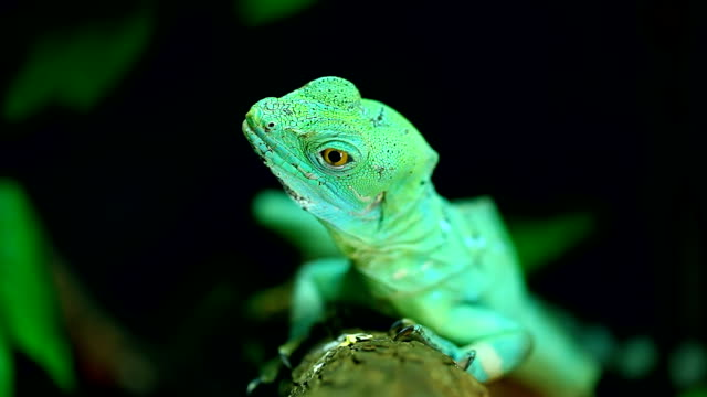 green basilisk lizard - faul ast stock-videos und b-roll-filmmaterial
